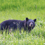Sightings of Black Bears: How to Keep Stay Safe