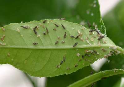 HLB infected citrus trees